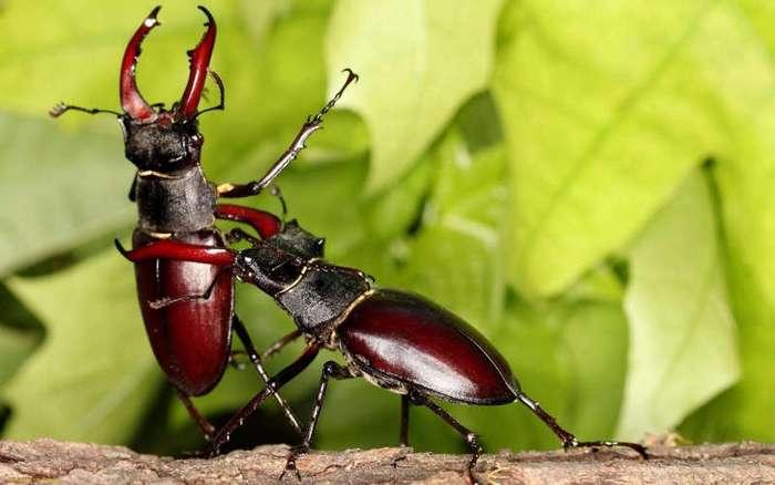 Самый крупный жук Европы (17 фото + 3 видео)