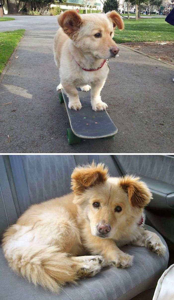 Вот что получается, когда скрещиваешь корги с другими породами собак (21 фото)