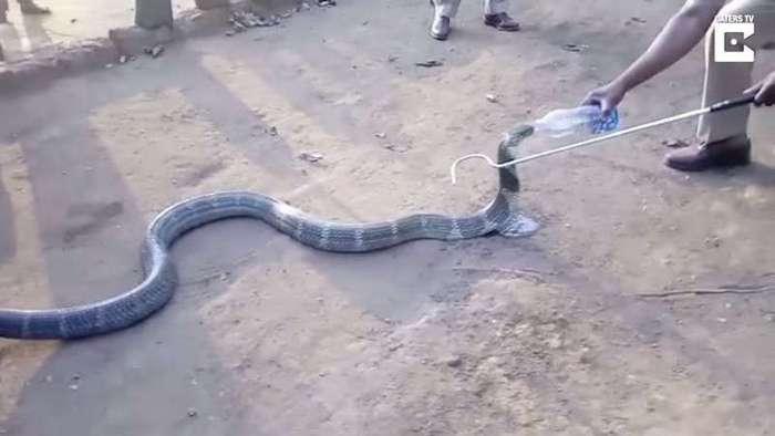 Умирающая от жажды ядовитая кобра приползла к людям и молила о помощи… (1 фото)