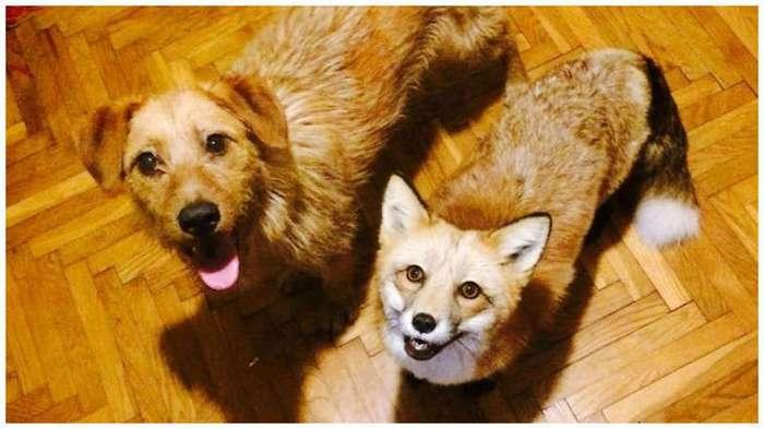 Домашняя лиса и пес - лучшие друзья (23 фото)