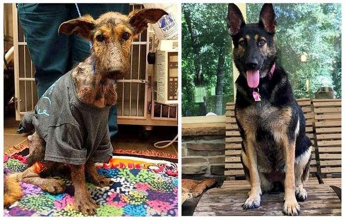 Удивительное спасение собаки и её восстановление (10 фото)