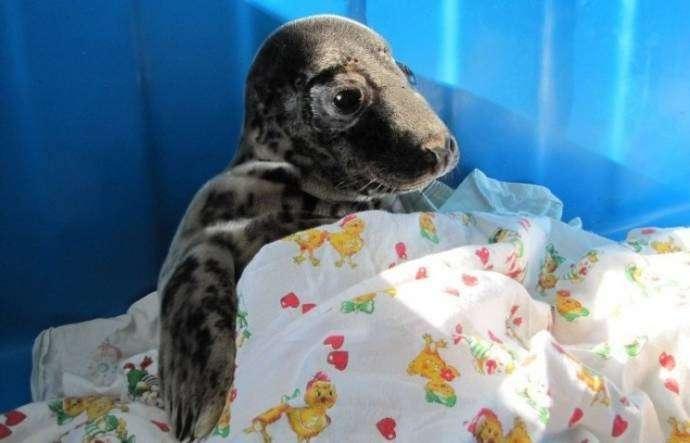 Осиротевший тюлененок приполз за помощью к людям (4 фото)