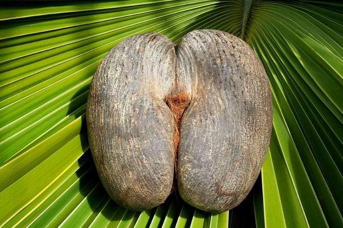 Коко-де-мер &8211; самый необычный кокос на планете