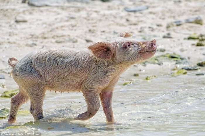 Жизнь милейших свинок на необитаемом острове