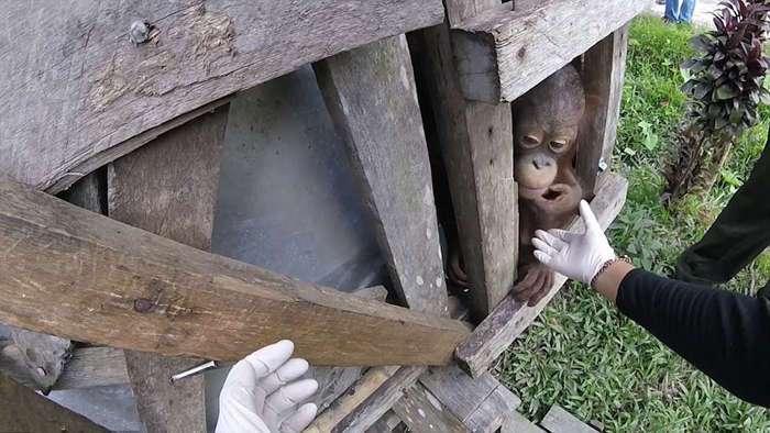 Орангутанг Котап освободился от клетки, в которой провел полжизни