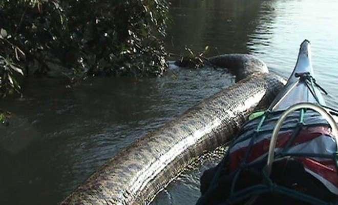 В Бразилии нашли гигантскую анаконду