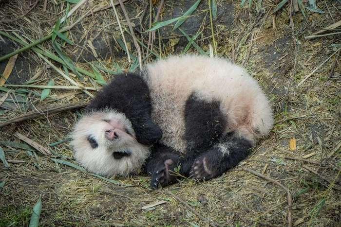 Как разводят панд в Китае