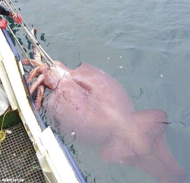 Самый большой кальмар в мире