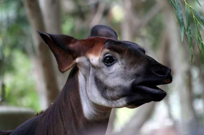 Лесной жираф