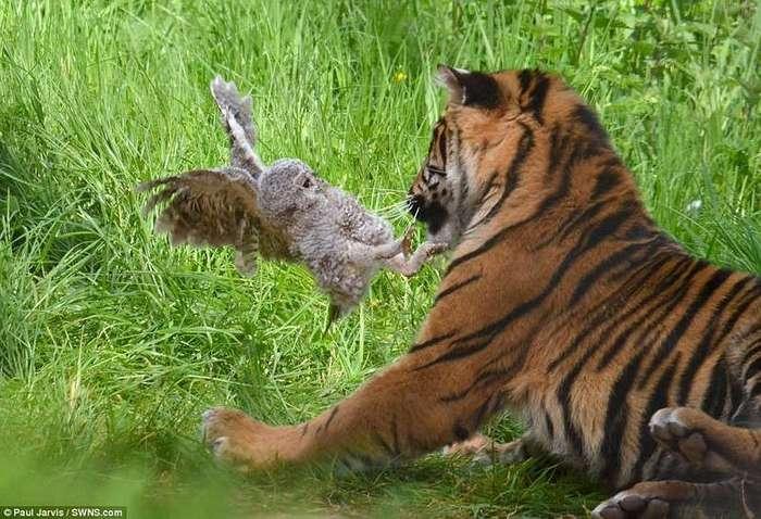 В британском зоопарке совёнок смог отбиться от тигра, упав в вольер к хищнику
