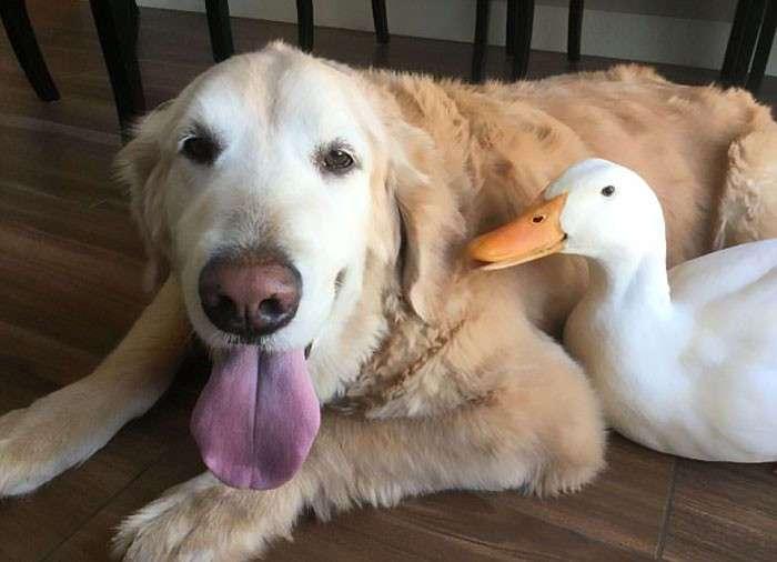 Утка и пёс - лучшие друзья