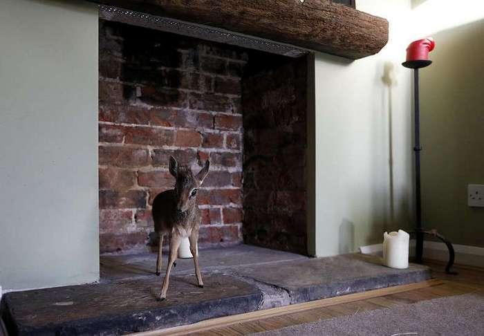 Самая маленькая антилопа в мире