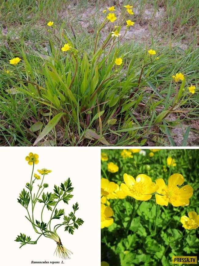ТОП-11 самых ядовитых растений (11 фото)
