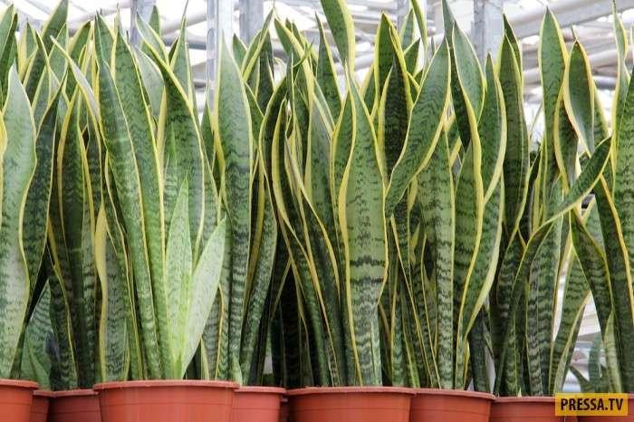 ТОП-6 растений которые могут заменить кондиционер (6 фото)
