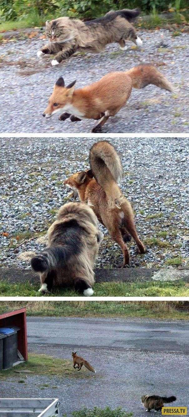 Коты которые способны гонять собак (25 фото)