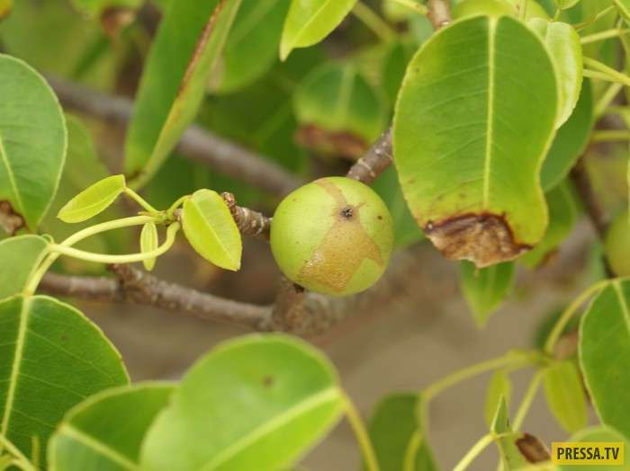 Hippomane mancinella самое ядовитое дерево на планете (11 фото+2 видео)