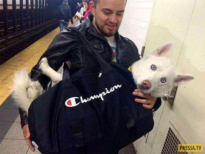 С собаками в метро нельзя! А если надо? (12 фото)