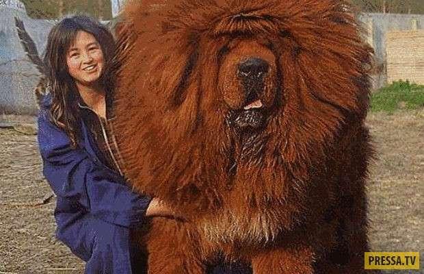Тибетский мастиф по кличке -Hong Dong- стоит 1.5 миллиона долларов (США) (6 фото)