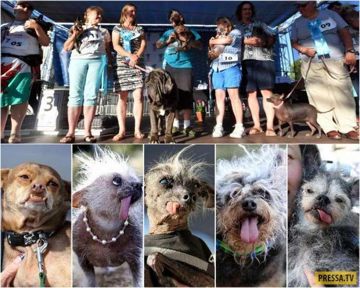 В Калифорнии прошёл конкурс на самую уродливую собаку (29 фото)