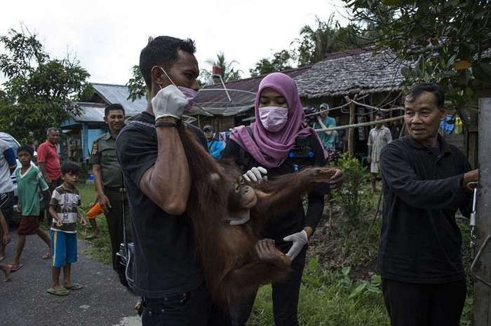 На Борнео освободили орангутана, который провел два года в тесном ящике