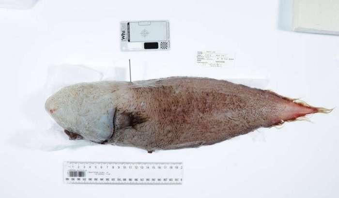 Около Австралии поймали считавшуюся вымершей рыбу без лица (4 фото)
