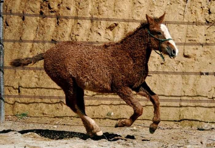 Забайкальская кучерявая лошадь (13 фото)