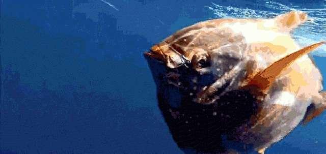 Ученые обнаружили первую в мире теплокровную рыбу (2 фото + 1 гиф)