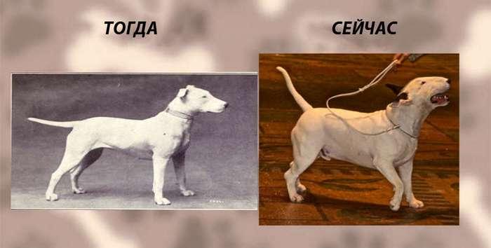 Вот как выглядели собаки этих пород 100 лет назад. Вот как они выглядят сейчас