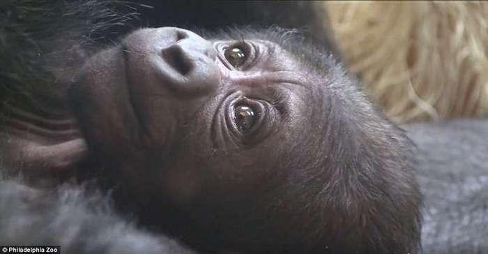 Акушеры-гинекологи помогли горилле родить здорового детеныша (12 фото)