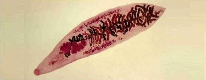 12 удивительных паразитов (13 фото)