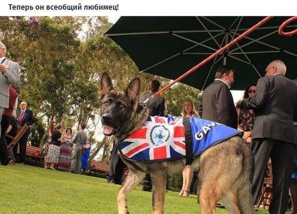 Австралийского пса уволили из полиции за дружелюбие (7 фото)