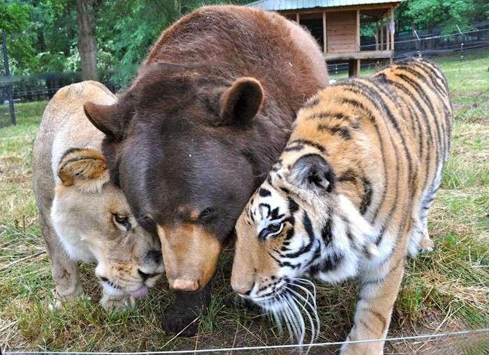 Неразлучное братство медведя, льва и тигра (8 фото + 1 видео)