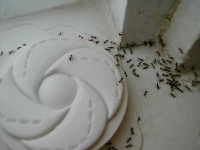 Надежный способ избавиться от ненавистных муравьев в квартире (5 фото)