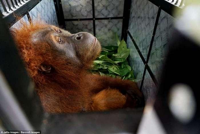 Пальмовые плантации наступают: орангутанам пришлось искать новый дом (16 фото)