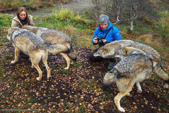 Поцелуй волка (33 фото)