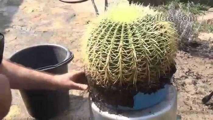 Интересные факты о кактусах (2 фото)