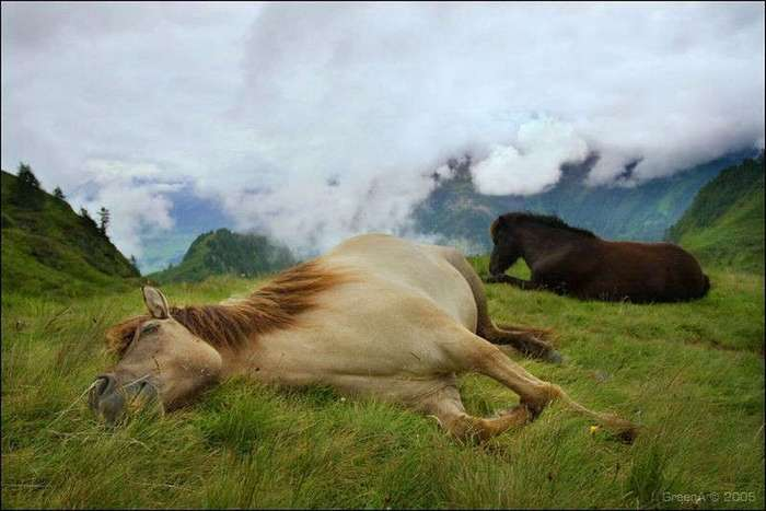 Как спят лошади (12 фото)