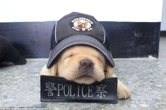 Полиция Тайваня взяла на службу самых милых четвероногих сотрудников в мире (5 фото)