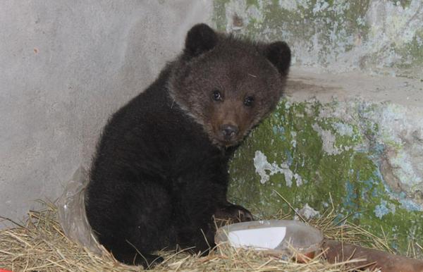 Жители Омской области приютили истощённого медвежонка (1 фото)