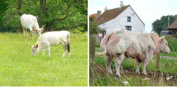 Неожиданный поворот: как выглядели свиньи, овцы и лосось до того, как их начали разводить люди