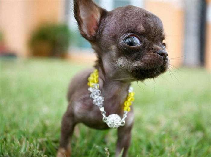 Самая маленькая в мире собака (5 фото)