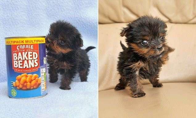 Самый крохотный щенок в Великобритании долго боролся за жизнь (8 фото)