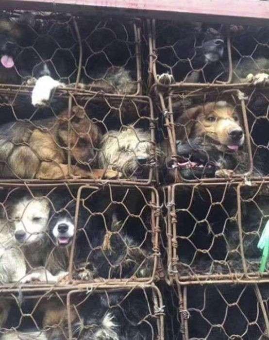 В Китае спасли 1000 собак, которых везли на убой (10 фото)