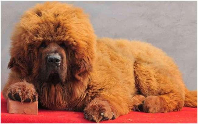 Пятерка самых дорогих пород собак