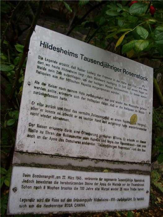 Тысячелетняя роза Хильдесхайма &8211; удивительное чудо природы