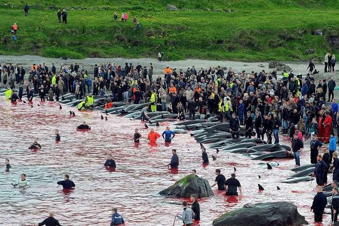 Вся правда об убийстве дельфинов в Дании