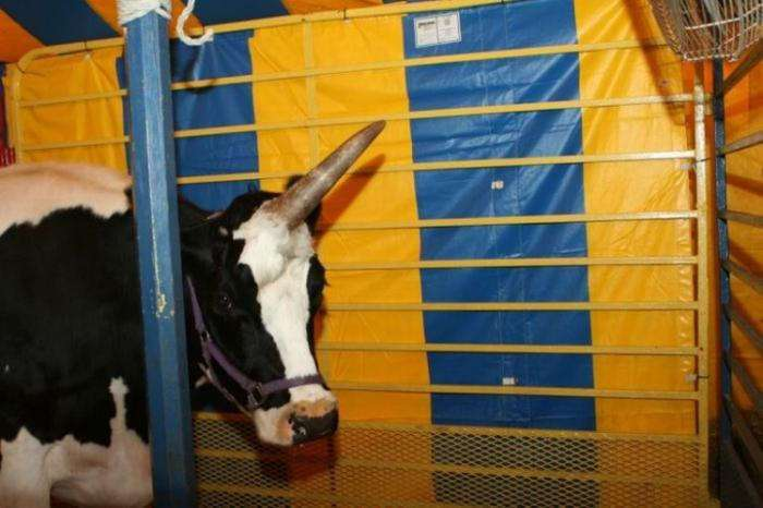 Корова-единорог (5 фото)