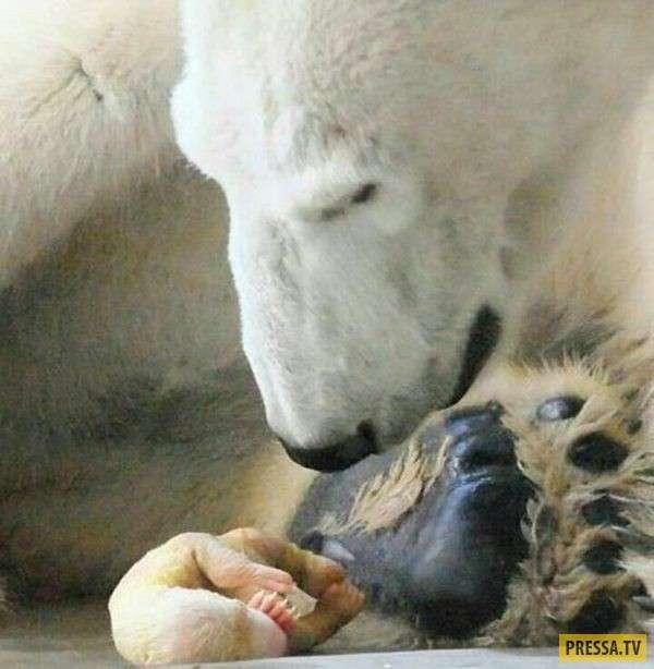 Так вот они какие - новорожденные медвежата! (6 фото)
