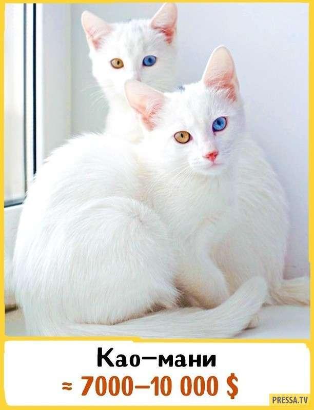 ТОП-19 самых редких и дорогих пород кошек (19 фото)