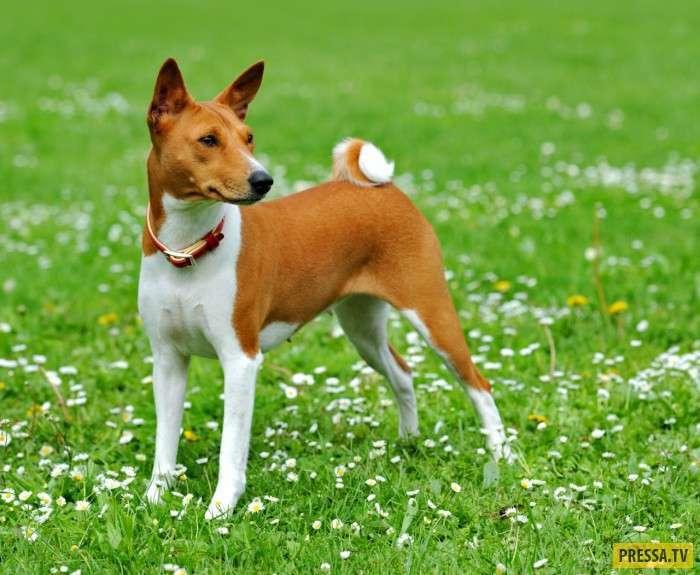 Уникальные собаки, которые не гавкают (6 фото+2 видео)
